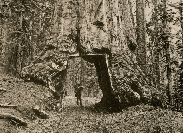 """Wawona,"" a giant sequoia in Yosemite's Mariposa Grove, California, circa 1890.Albertype reproduction of a photograph (North Wind Picture Archives via AP Images)"