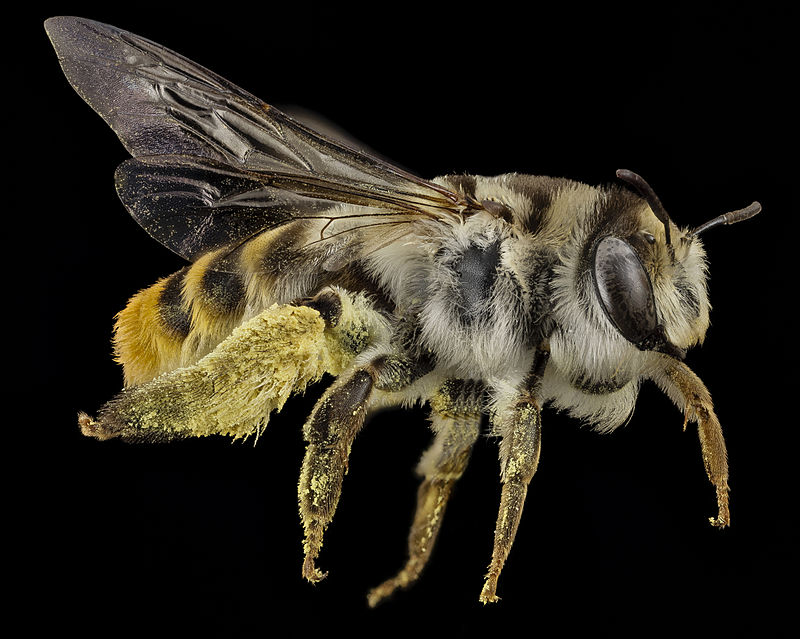 USGS Bee Inventory and Monitoring Lab -  CC BY 2.0