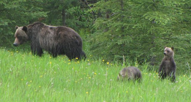 Sow with two cubs in the Kananaskis. Photo credit
