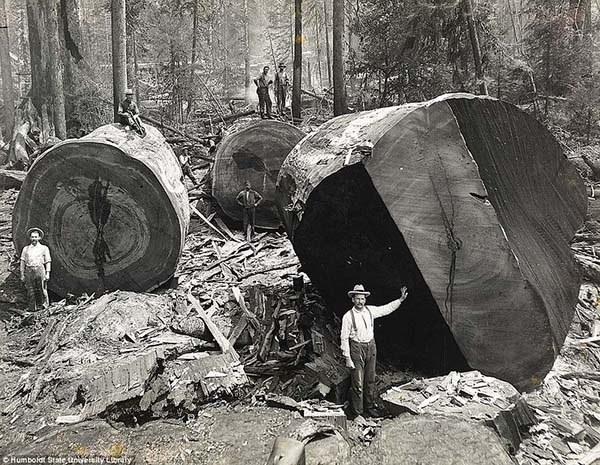 1473337472-4212-lumberjacks-redwood-2