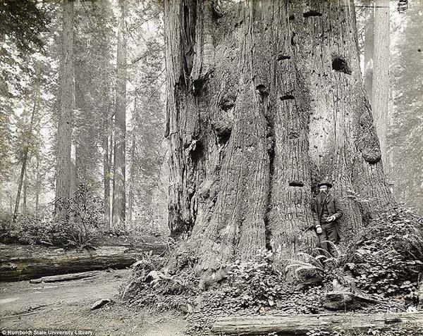 1473337472-4286-lumberjacks-redwood-3