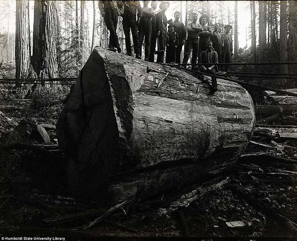 1473337473-6204-lumberjacks-redwood-4