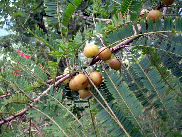 phyllanthus_officinalis