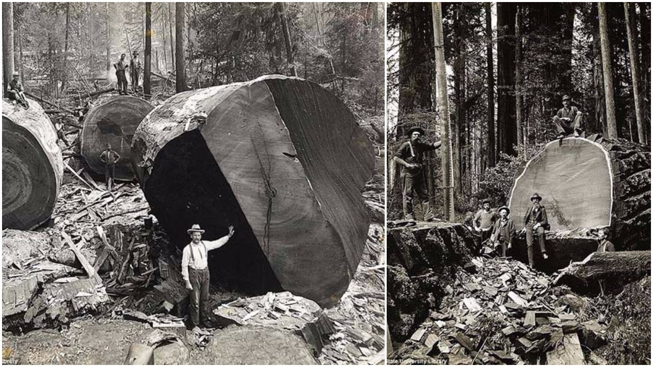 The Men Who Felled The Giants Of Sierra Nevada Mountains