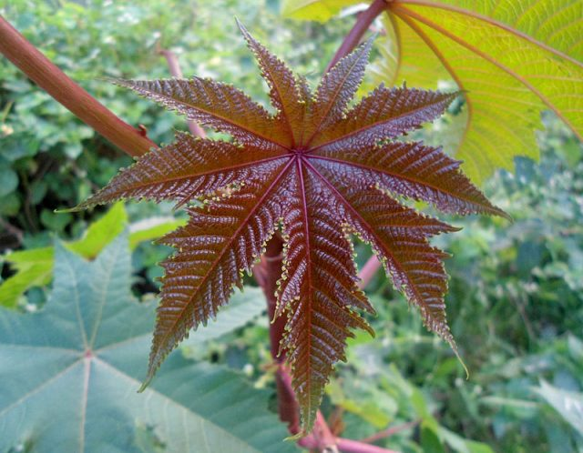 The seeds of the castor oil plant contain ricin, one of the world's most lethal toxins; it was famously used to assassinate Bulgarian dissident Georgi Markov in 1978.