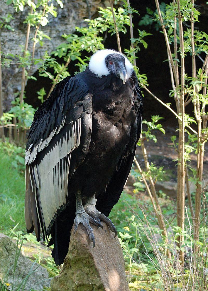 800px-vultur_gryphus_-doue-la-fontaine_zoo_france-8a