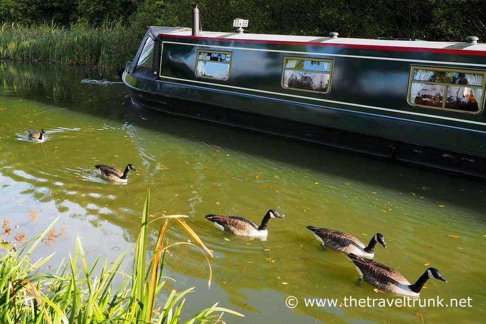 Geese in convoy passed by a barge