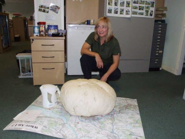 The 1.5-metre (59ins) fungus was so heavy that she needed help from a colleague to carry it back to the office in a coat. Photo credit