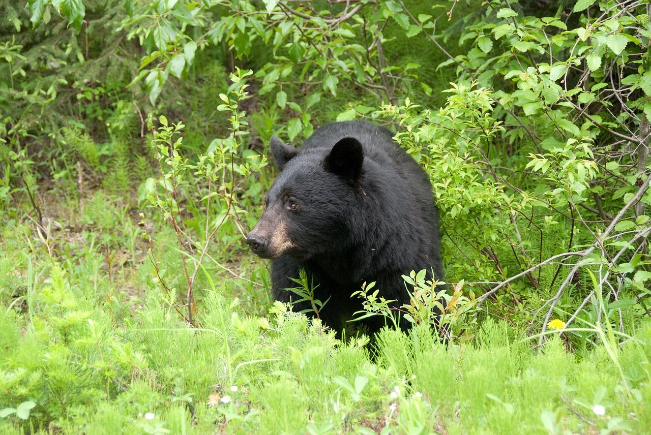 brown-bear-566727_1280