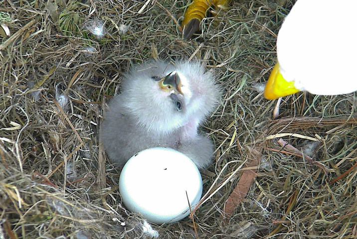 """""""NE16,"""" the eaglet in the picture, hatched yesterday LIVE on the American Eagle Foundation's Northeast Florida Eagle Cam (NEFL). Its soon-to-be-sibling, """"NE17,"""" pipped (cracked) through its eggshell this morning and should hatch over the next 24-48 hours."""