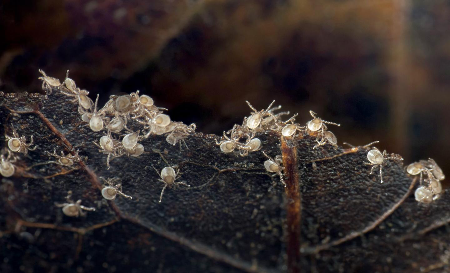 These larval black-legged ticks, about two months old, were photographed in leaf litter in eastern Tennessee.