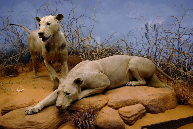 The Tsavo Man-Eaters on display in the Field Museum of Natural History in Chicago, Illinois. Source by Superx308