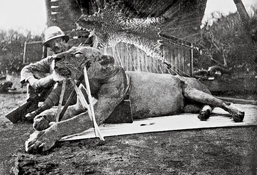 The first lion killed by Patterson, now known as FMNH 23970.