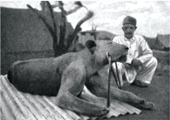 The second lion, FMNH 23969.