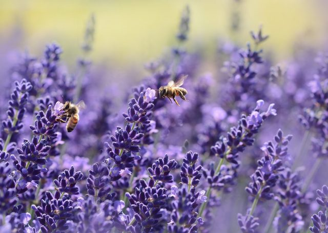 Bees on a lavender flower