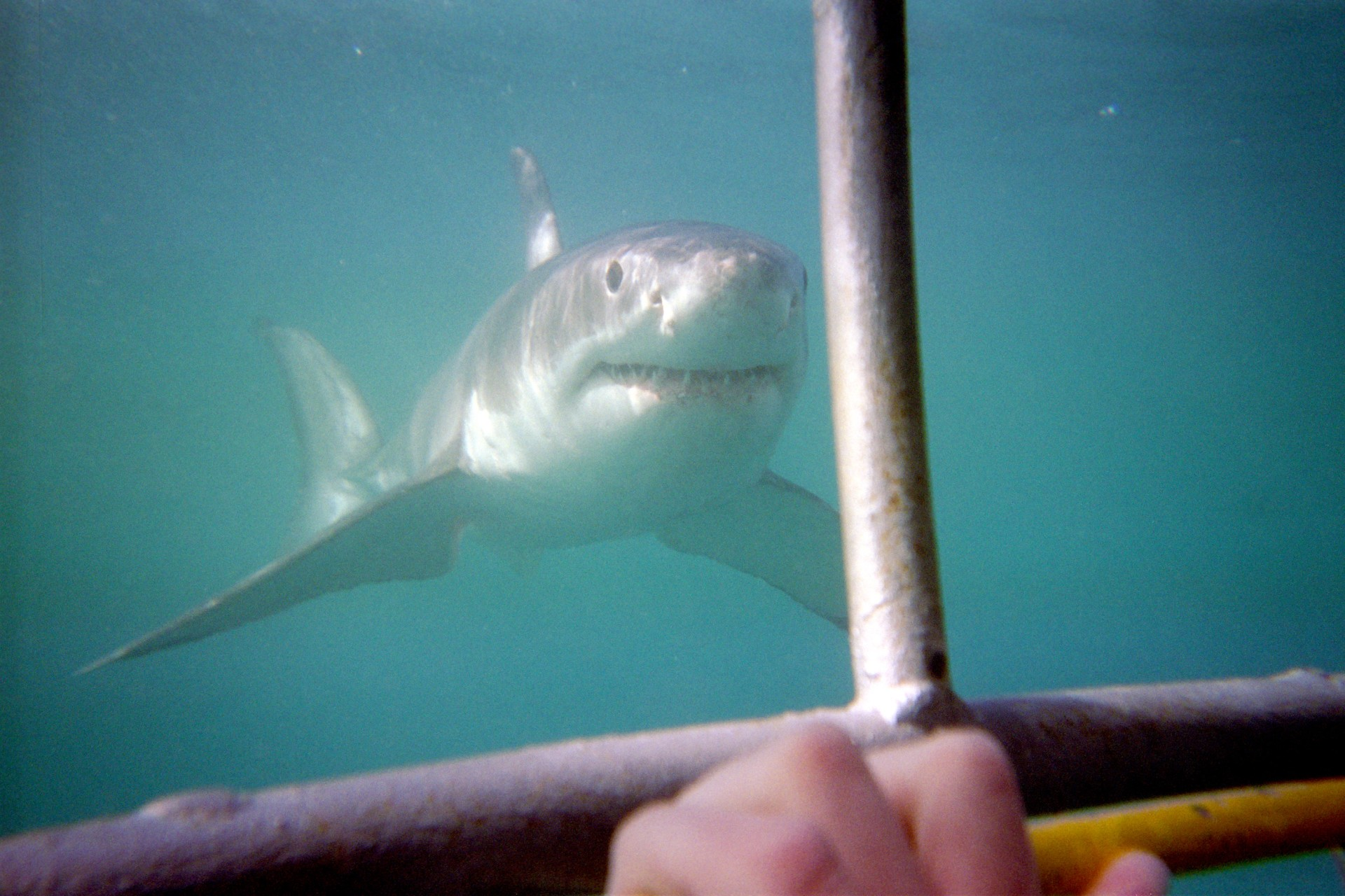 Great White shark Photo Credit