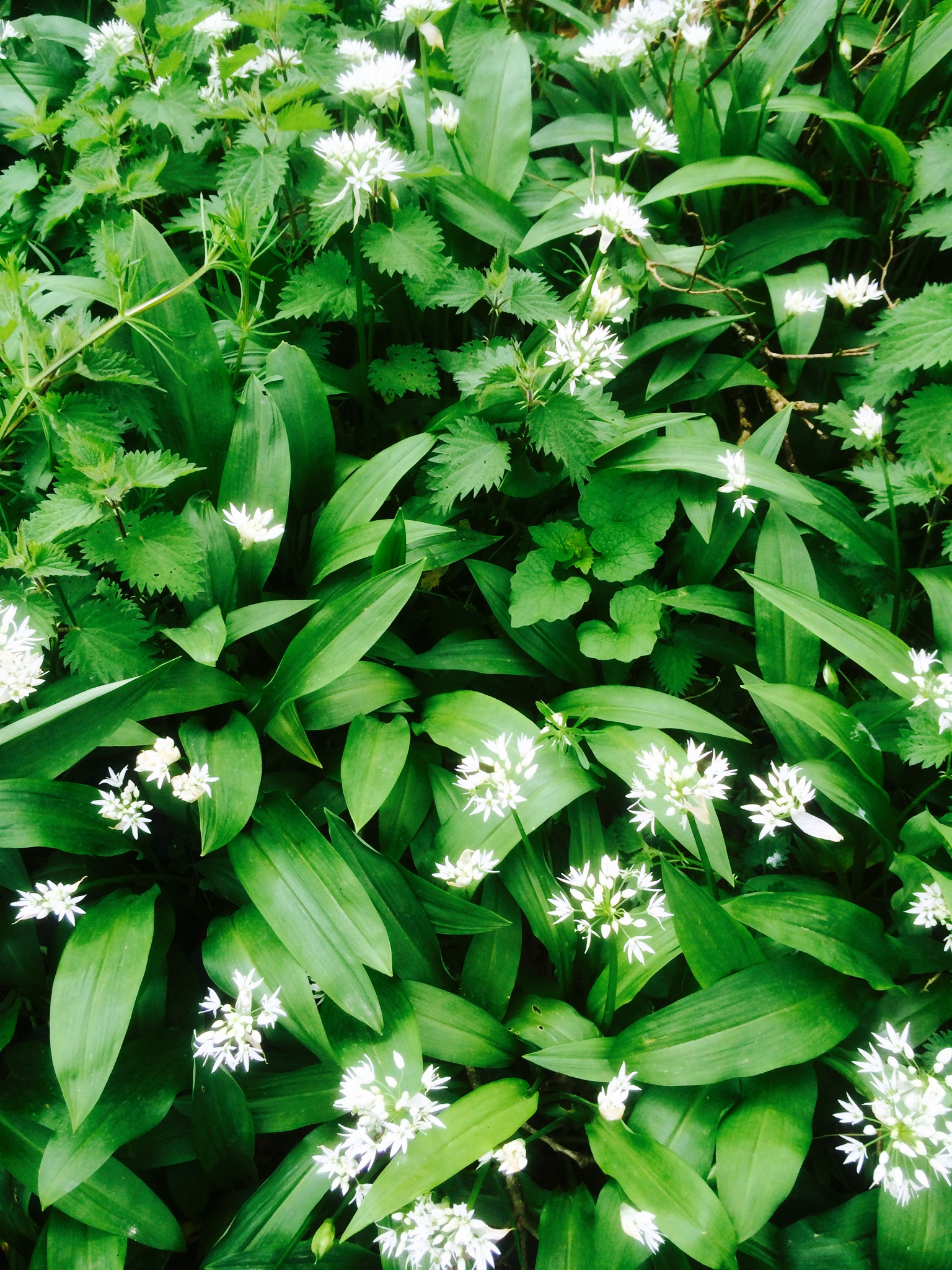 Spring Time Foraging Top 10 Wild Plants Outdoor Revival