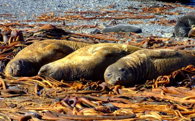 Elephant Seals, Prion Island, South Georgia. Photo credit