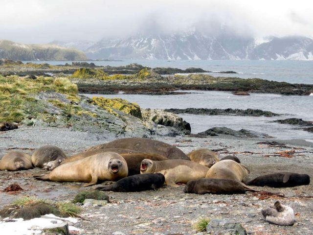 Female Elephant Seals, Prison Island, South Georgia. Photo credit