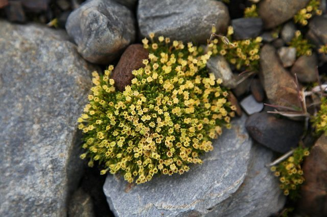 Antarctic Pearlwort at St. Andrews Bay, South Georgia. Photo credit