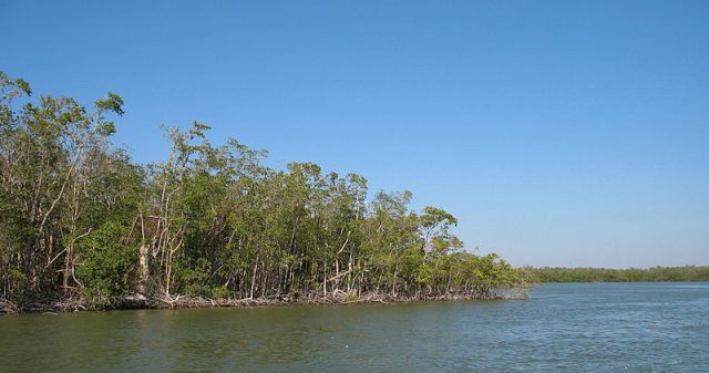 Mangrove trees create dense mazes in The Everglades Photo Credit