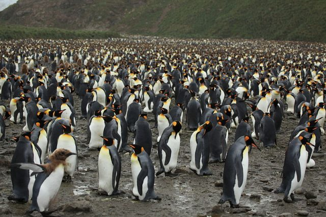 A colony of 200,000 king penguins (Aptenodytes patagonicus) on Salisbury Plain. Photo credit