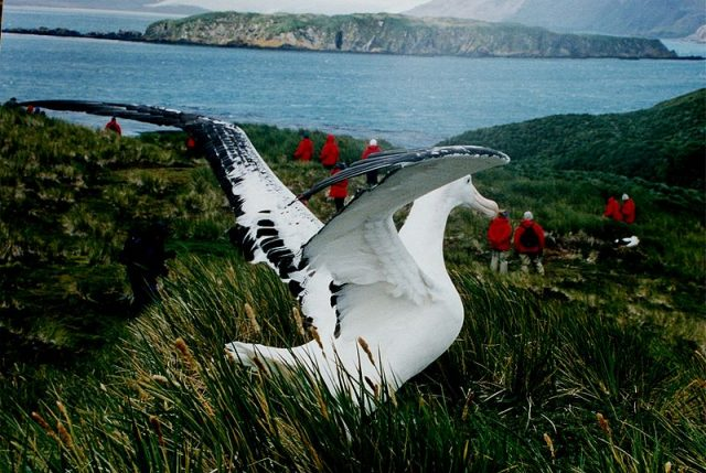 Wandering albatross at South Georgia Island. Photo credit