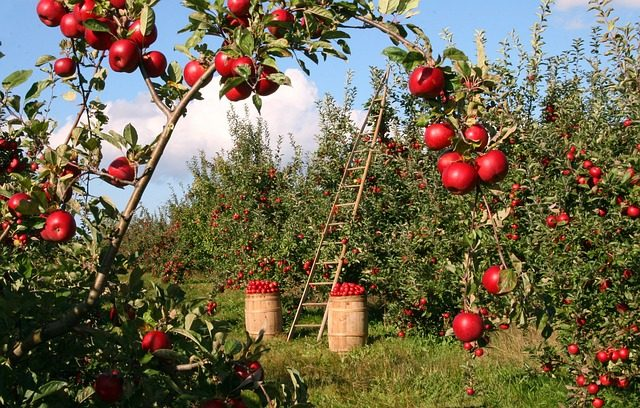 fruit picking orchard