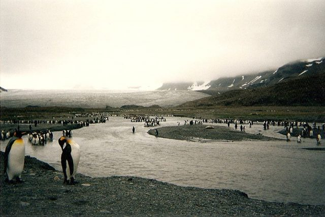 King penguins at St Andrews Bay, South Georgia Island, 1996. Photo credit