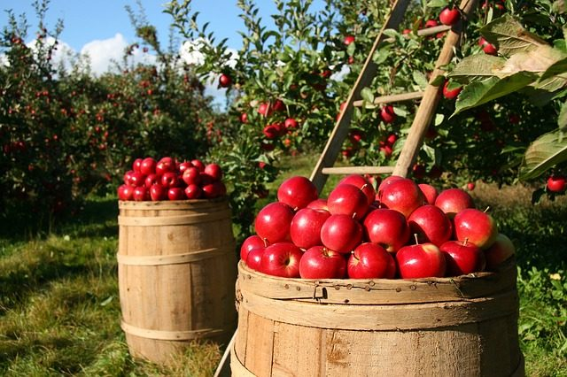 fruit picking apples