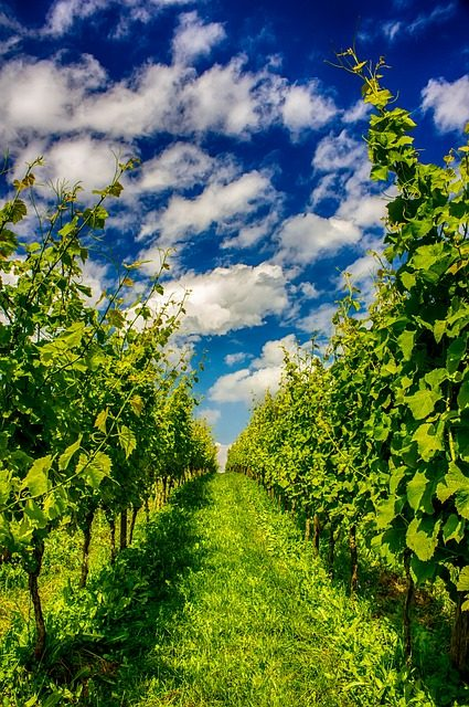 fruit picking vineyard