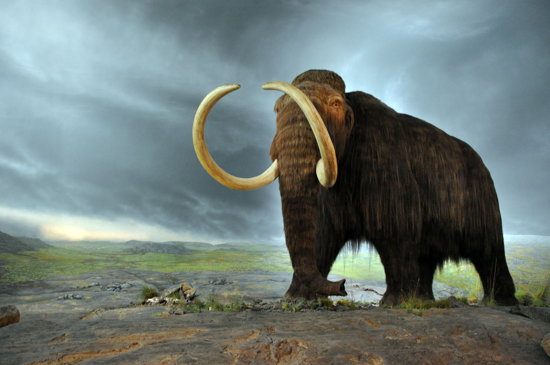 Woolly mammoth - By Mammut - CC BY-SA 2.0