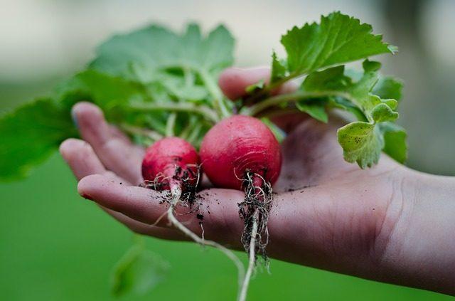 garden produce, raddishes