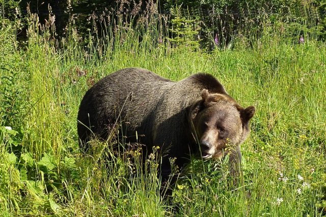 Grizzly bears seen along the journey…