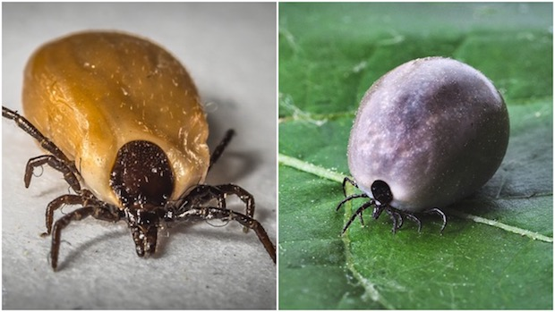 A Tick - Before and after sucking blood