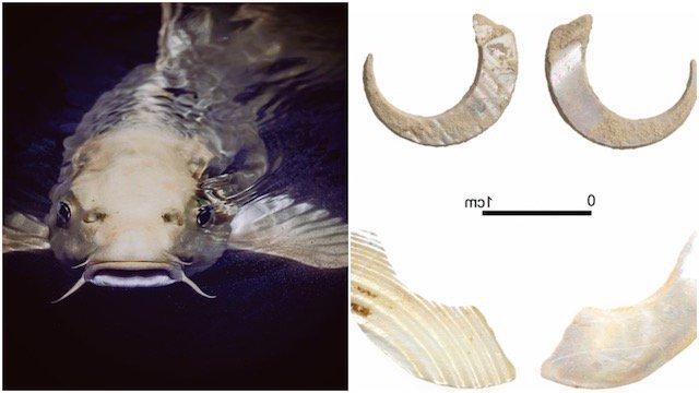 Sakitari hooks - 23,000 years old