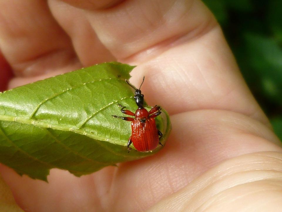 Hazel Leaf-roller Apoderus Croyli Beetle Insect Red