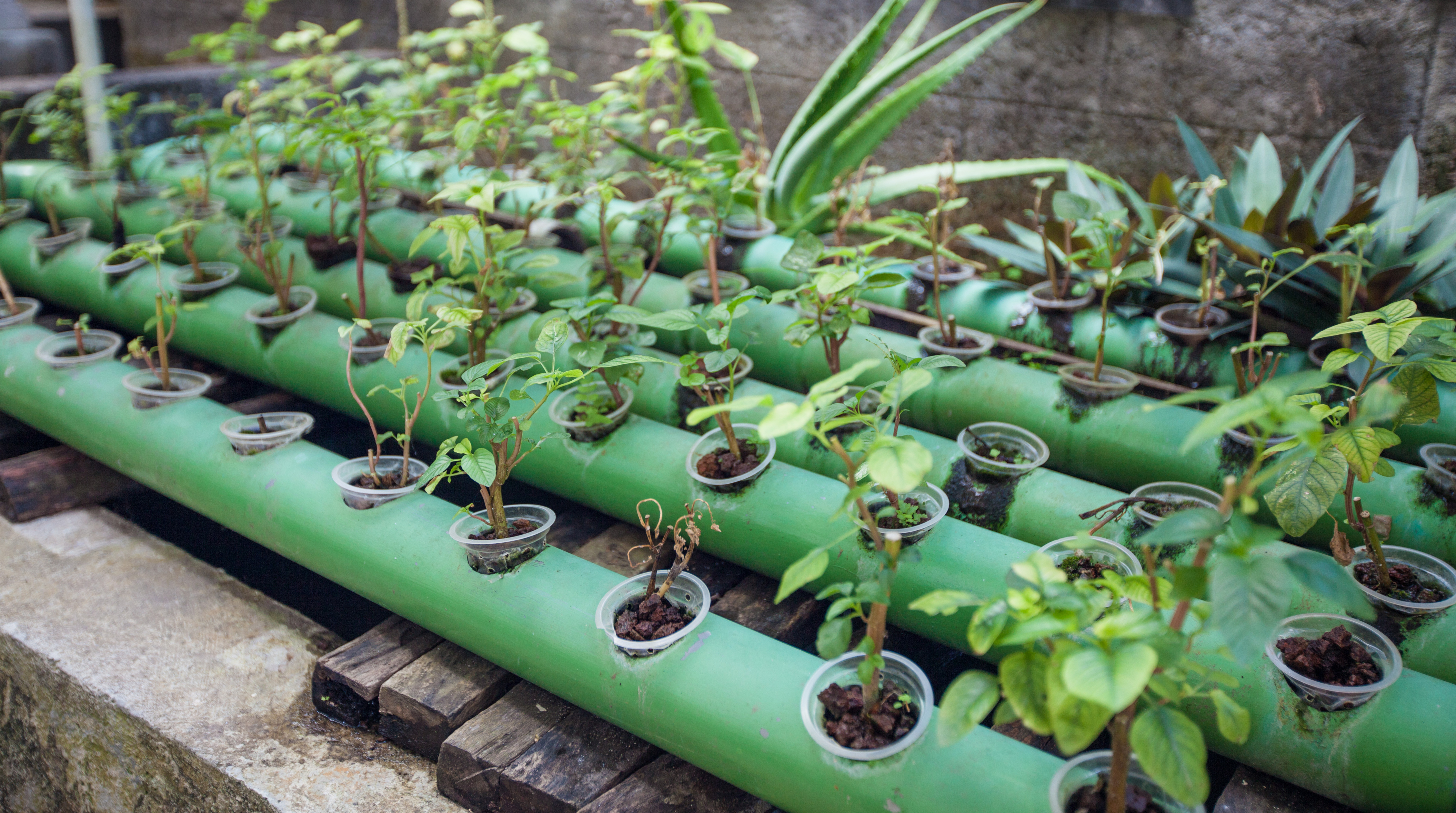 Aquaponics plants growing in metal pipes with circulating water from a fish pond, permaculture farm project.