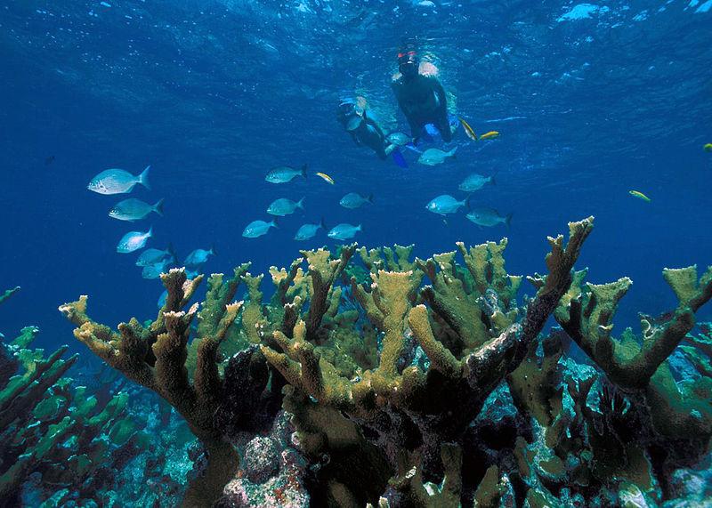 Endangered elkhorn coral at Biscayne National Park