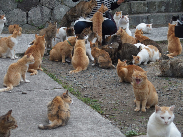 In Japanese culture, it is believed that cats bring good luck. So, residents and tourists who come to Tashirojima every year have the luxury to lose themselves in a swarm of lucky charms.Author: Sayoko Shimoyama CC BY 2.0