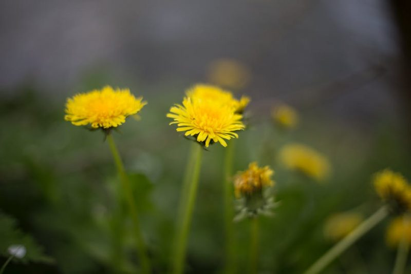 Dandelions close their flowers to protect them from stormy weather