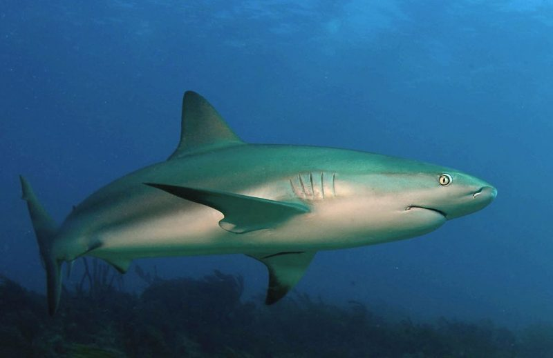 Carribean reef shark – Author: Albert Kok – CC BY-SA 4.0