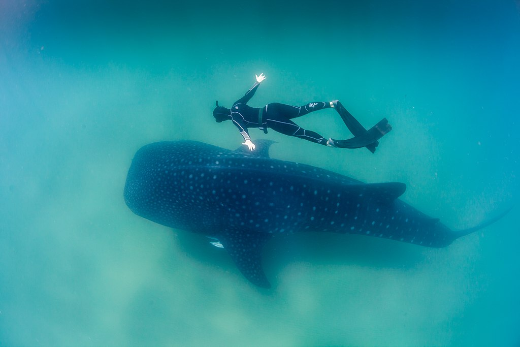 Whale Shark and Freediver - Author: Feefiona123 - CC BY-SA 4.0