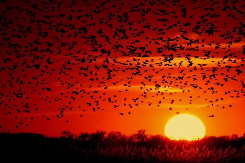 A flock of Red-winged Blackbirds (Agelaius phoeniceus) flying into the sunset. Taken at Quivira National Wildlife Refuge in Kansas