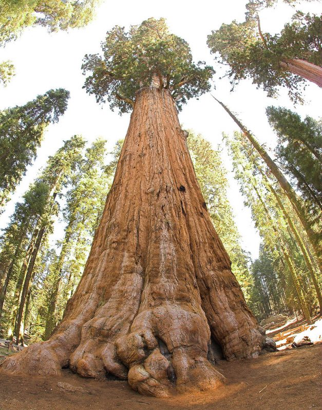 General Sherman Tree, in Sequoia National Park: a Largest living organism in the world – Author: Jim Bahn – CC BY 2.0