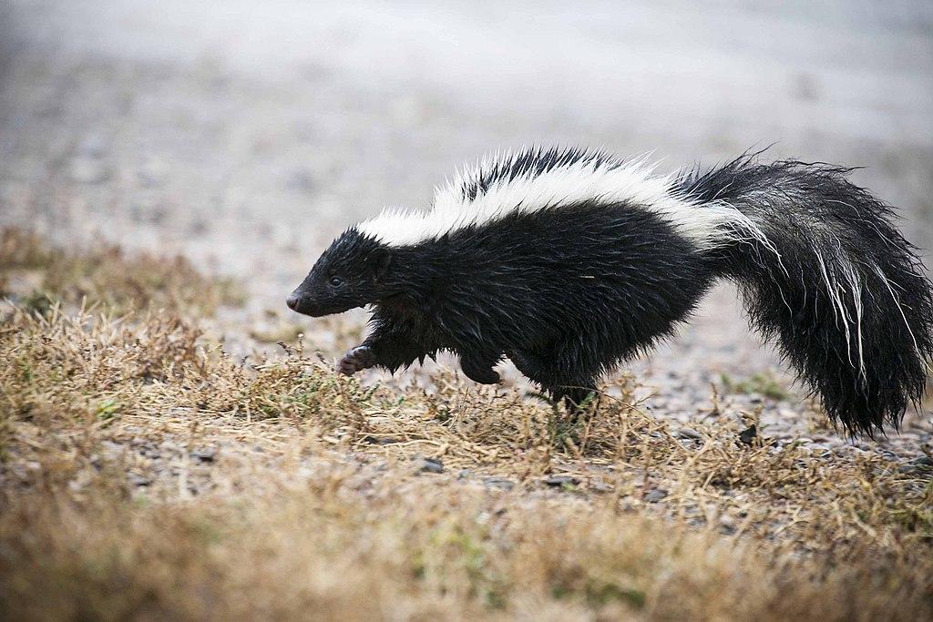 Striped skunk, close - Author: USFWS Mountain-Prairie - CC BY 2.0