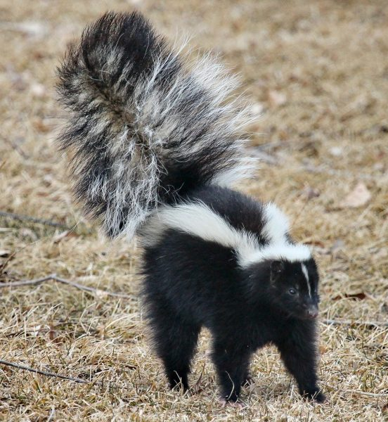 Do you smell ghastly after a skunk encounter? Don't worry – it won't kill you, but you sure will get fed up with how bad you stink