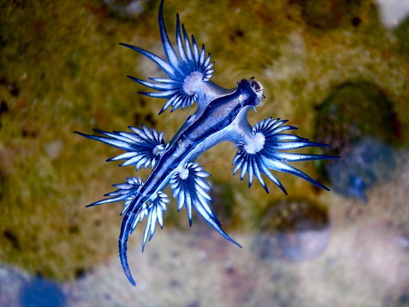 Blue dragon-glaucus atlanticus - Author: Sylke Rohrlach - CC BY-SA 2.0
