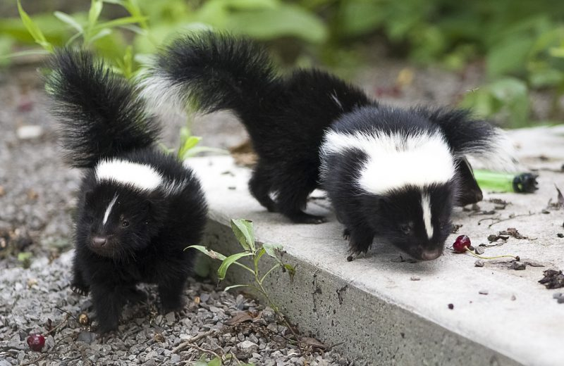 Baby skunks scavenge for food in a conservation area