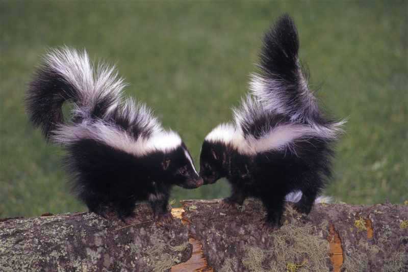 A pair of young Striped Skunks in Montana.
